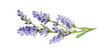 Lavender flowers watercolor illustration. Organic Lavandula herb stems with buds and green leaves close up illustration. Medical and aroma lilac herb botanical drawing. Isolated on white background.