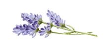 Lavender Flowers With Stems Wa...