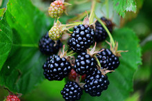 Blackberries On A Green Branch...