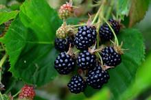 Blackberries On A Green Branch...