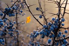 Last Yellow Leaf On A Blacktho...