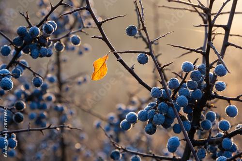 Valokuva Last yellow leaf on a blackthorn bush