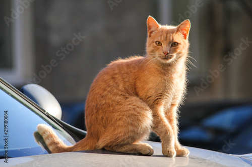 ginger cat Fototapeta