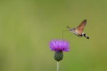 Hummingbird Hawk-moth Hovering...