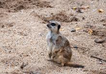 A Lone Meerkat (Suricata Suricatta)