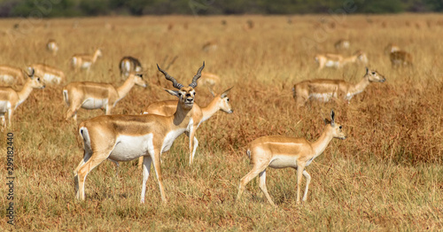 Photo A male blackbuck in the grasslands of the Velavadar National Park in Gujarat, India, with its herd in the background