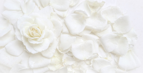 Beautiful white rose and petals on white background. Ideal for greeting cards...