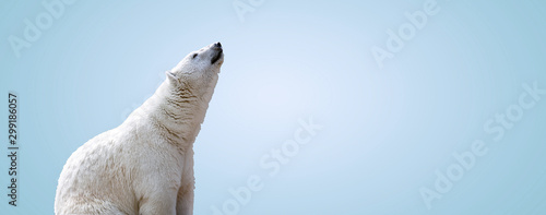 white polar bear over gray background, panoramic mock up image