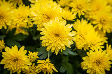 A Full Frame Photograph Of Bright Yellow Chrysanthemum Flowers On A Sunny Autumn Day
