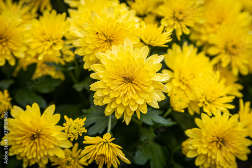 A full frame photograph of bright yellow chrysanthemum flowers on a sunny autumn Canvas