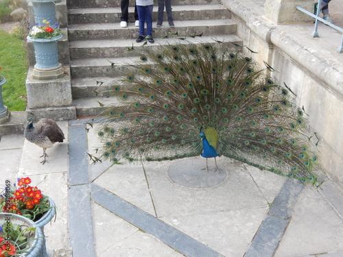 Fotografie, Tablou  Le paon du jardin des plantes de Rouen.