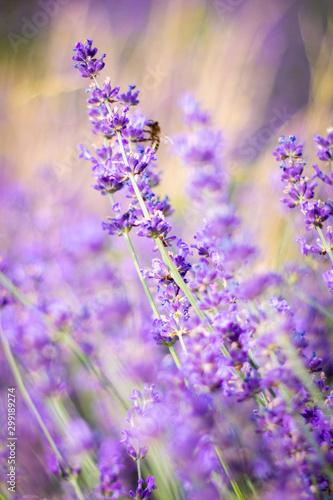 Fototapety, obrazy: Purple fragrant lavender in full blossom