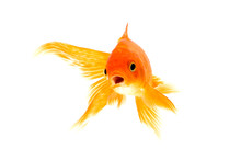 Gold Fish Isolated On A White ...