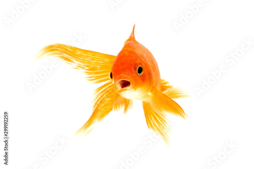 Fotografie, Tablou Gold fish isolated on a white background