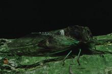 Annual Cicada (Cicadidae)