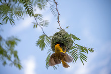 Yellow Southern Masked Weaver Bird Building A Nest