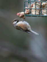A Boreal Chickadee At The Suet Feeder