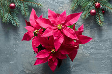 Vibrant Pink Poinsettia, Christmas Celebration, Flat Lay On Dark Liquid Acrylic Paint Background Decorated With Fir Twigs And Dark Red Baubles..