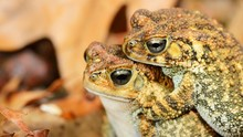 African Common Toad Amietophry...