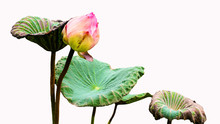 Lotus Buds And Withered Lotus ...