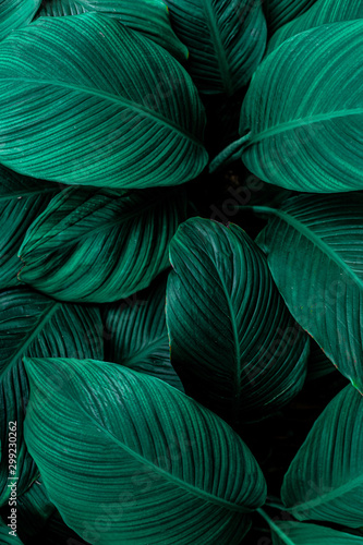 leaves of Spathiphyllum cannifolium, abstract green texture, nature background, tropical leaf - 299230262