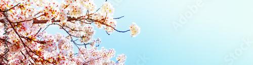 Keuken foto achterwand Kersenbloesem 美しく満開に咲き誇る一本の桜とコピースペースの青い空