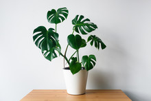 Beautiful Monstera Flower In A White Pot Stands On A Wooden Table On A White Background. The Concept Of Minimalism. Hipster Scandinavian Style Room Interior. Empty White Wall And Copy Space.