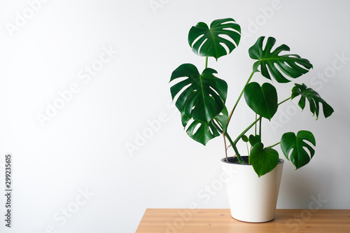 Obraz na plátně Beautiful monstera flower in a white pot stands on a wooden table on a white background