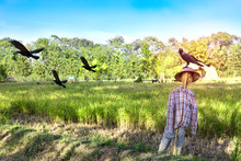 Scarecrow And Crow On  Rice Field Background