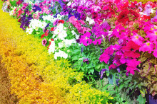 Colorful Petunia Flowers Bloom In The Garden,filter Effect