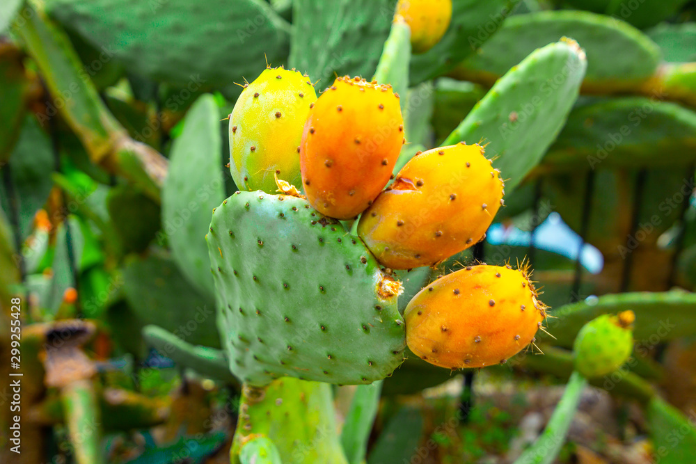 Fototapeta Prickly pear cactus with orange fruits close-up