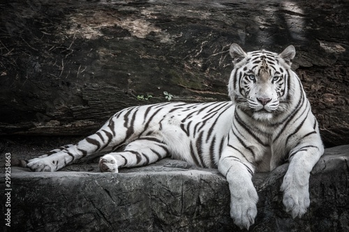 Valokuvatapetti beautiful portrait of white bengal tiger in wildlife