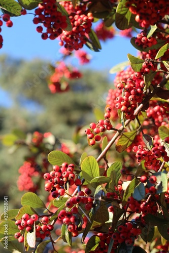 Vertical shot of a tree with small red fruits taken in San Francisco - 299258841