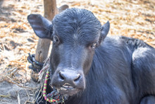 New Born Black Asian Baby Buffalo Sitting On Sand And Looking So Sad And Lonely
