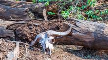 African Buffalo Skull And Horn...