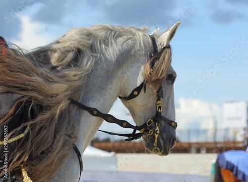 Pinturas sobre lienzo  Andalusian saddle horse portrait against sky  background