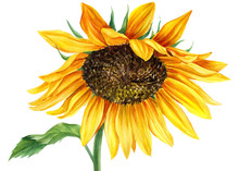 Sunflower On An Isolated White...