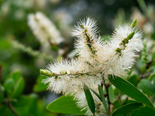 Close Up Of Melaleuca Quinquen...