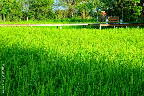 Thailand Khon Kaen Rice Plantation