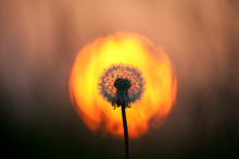A Full Dandelion Head Is Backlit By The Glow Of An Orange Sunset.The Sun Circle Frames The Flower Head.Image