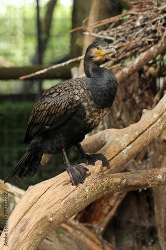 Il cormorano comune, una sorta di corvo dei mari, è un uccello di grandi dimensioni, con la testa, il collo e il corpo di colore scuro e un robusto becco a forma di uncino Canvas Print