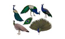 Detailed Beautiful Peacocks Ve...