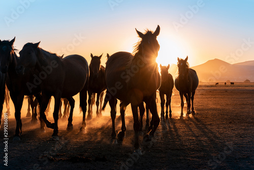 Fototapeta Herd of wild horses silhouette. Very curious and friendly. wild horse portrait obraz