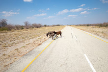 Donkeys Crossing A Deserted As...