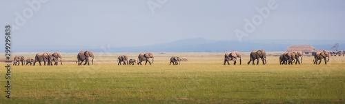Fototapeta herd of elephants