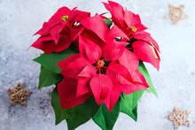 Red Poinsettia Christmas Plant On A Stone Gray Background With Copy Space. Flat Lay. Christmas Gift Card