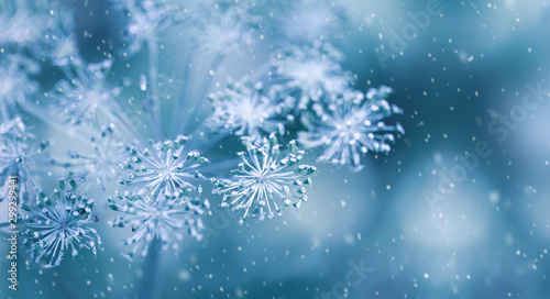 Fotografie, Obraz  Blurred winter background with dry plants covered hoarfrost in winter morning