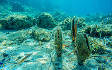 Several Molluscs Noble Pen Shell, Pinna Nobilis, Underwater On A Seabed With Neptune Grass, Mediterranean Sea