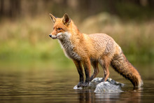 Beautiful Red Fox Standing On A Few Stones Over The Water Surface. Very Focused On Its Prey. Pure Natural Wildlife Photo. Ready To Hunt.