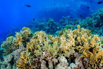 Naklejka na ściany i meble Coral Reef at the Red Sea Egypt